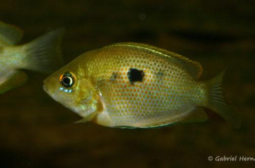 Etroplus maculatus (Club aquariophile de Vernon, juin 2004)