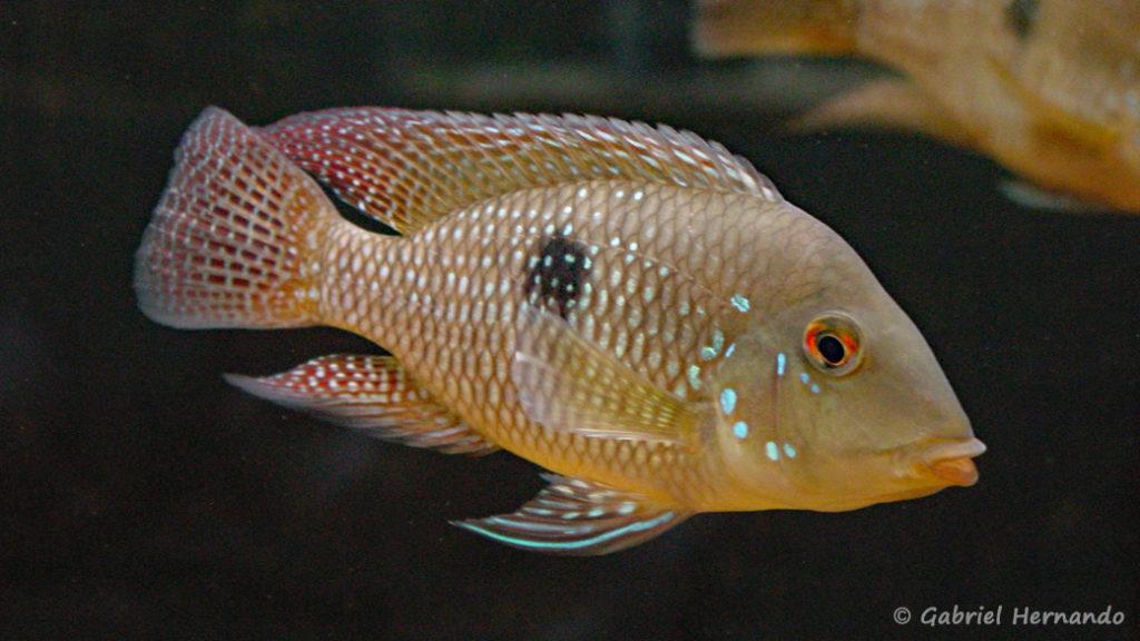 Geophagus cf. brasiliensis (Club aquariophile de Vernon, juillet 2003)