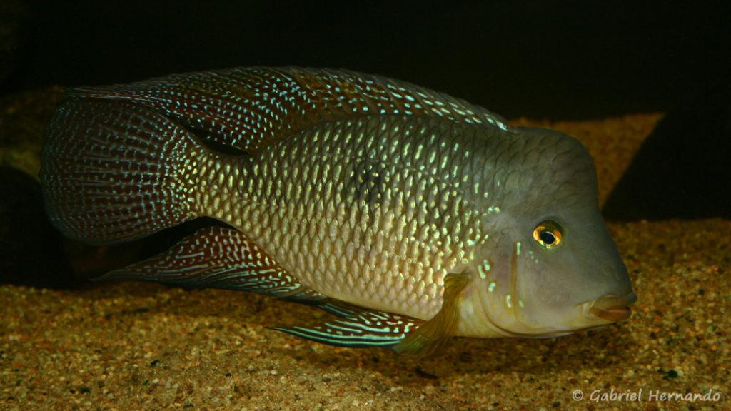 Geophagus cf. brasiliensis (Club aquariophile de Vernon, Juin 2004)