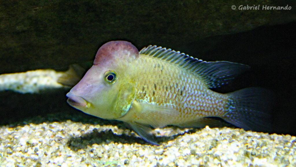 Geophagus steindachneri (Aquarium de la Porte Dorée, décembre 2004)