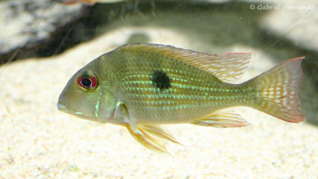 Geophagus surinamensis (Aquarium du Palais de la Porte Dorée, décembre 2004)