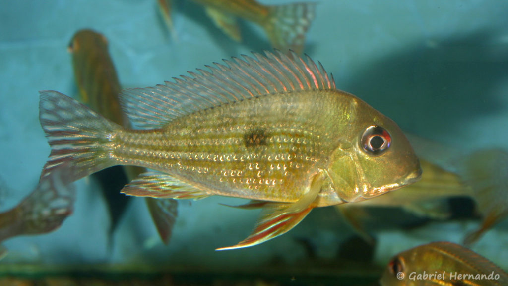 Geophagus surinamensis (Verduijn Cichlids, mars 2006)