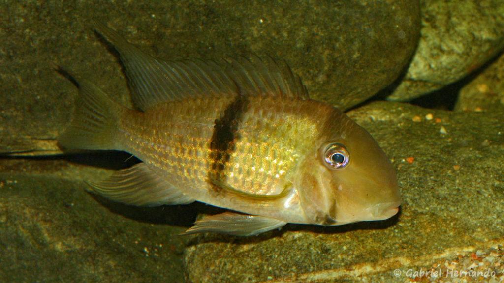 Guianacara owroewefi (Club aquariophile de Vernon, septembre 2008)