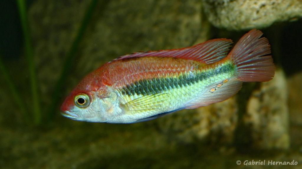 """Haplochromis sp. """"Flameback"""" (Club aquarioiphile de Vernon, juin 2004)"""
