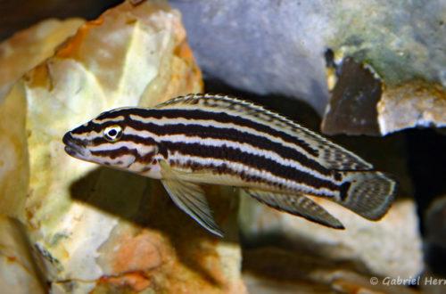 Julidochromis regani, du Burundi (chez Gilles Garrier, décembre 2006)