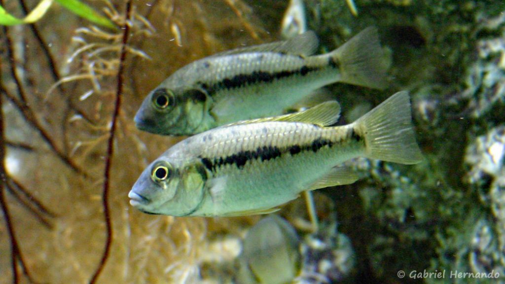 Konia eisentrauti (Aquarium du palais de la Porte Dorée, Décembre 2004)