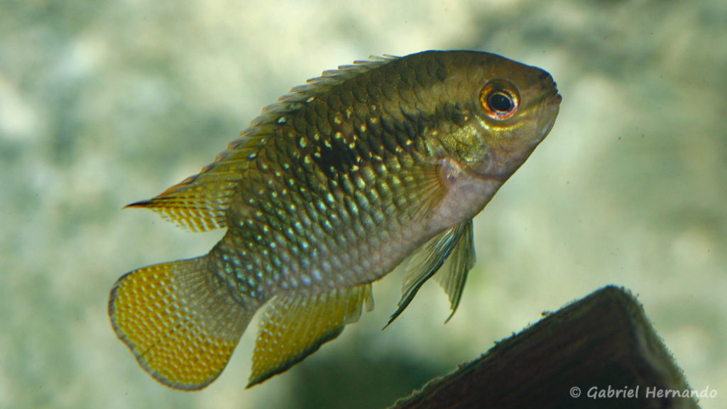 Laetacara dorsigera (Club aquariophile de Rouen, avril 2009)