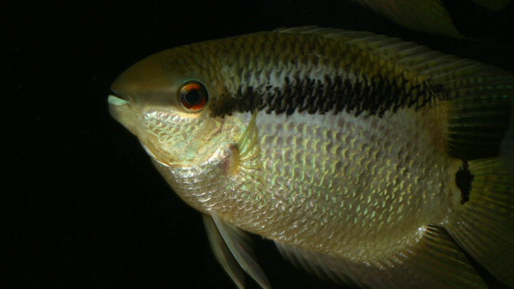 Mesonauta guyanae, variété de Paramaribo (chez Yolande Koseve, août 2008)