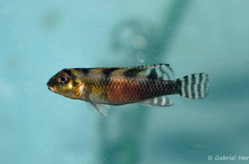 Nanochromis transvestitus (Verduijn Cichlids, mars 2005)