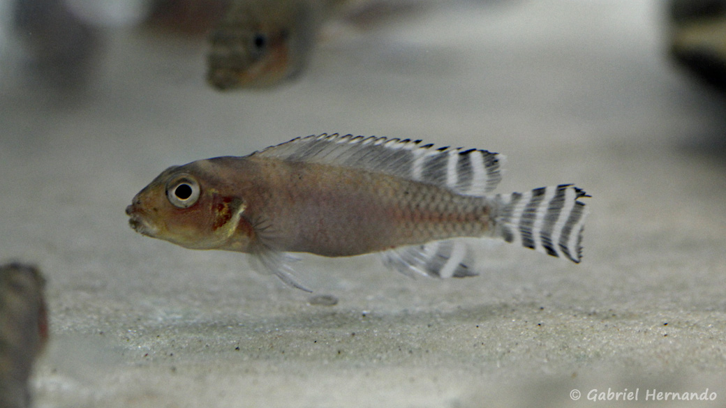 Nanochromis transvestitus (Montereau-Fault-Yonne, congrès AFC 2019)