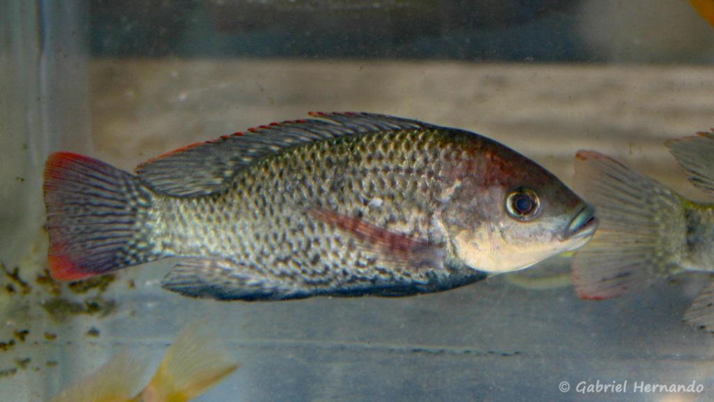 Oreochromis mossambicus (Vichy, congrès AFC 2005)