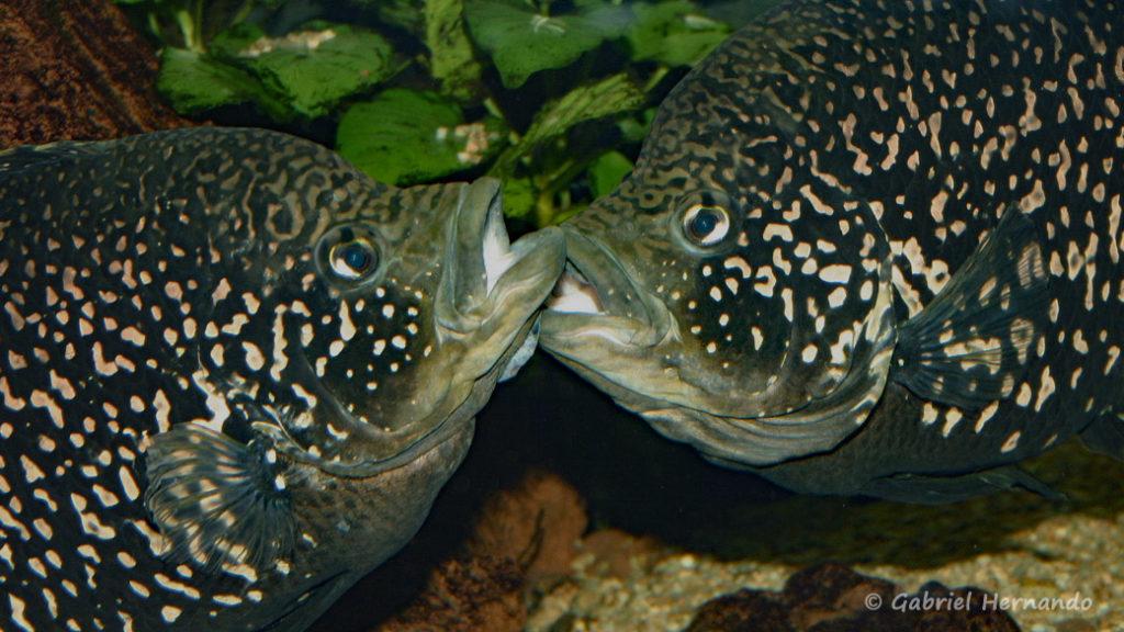 "Paratilapia sp. ""Andapa"" (Club aquariophile de Vernon, juin 2004)"