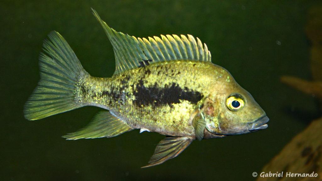 Ptychochromis grandidieri (Club aquariophile de Vernon, juin 2004)