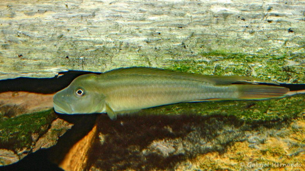 Steatocranus tinanti (Club aquariophile de Vernon, juin 2004)