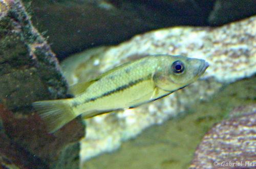 Stomatepia mariae (Aquarium du palais de la Porte Dorée, décembre 2004)