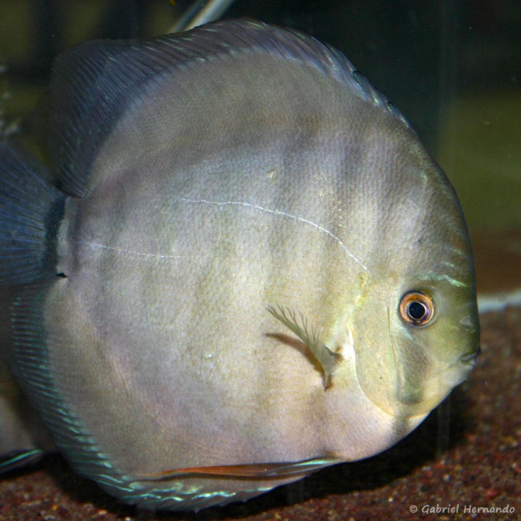 Symphysodon aequifasciatus, variété du Rio Xingu (Vichy, congrès AFC 2005)