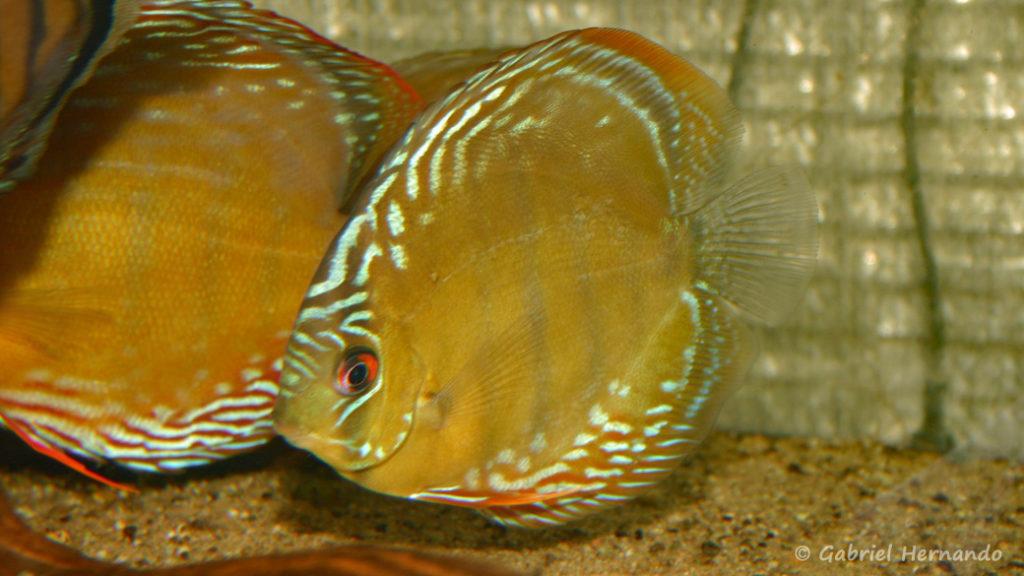 Symphysodon discus, variété du rio Abacaxis (Verduijn Cichlids, mars 2006)