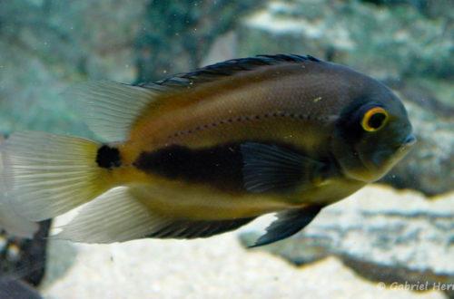 Uaru amphiacanthoides (Aquarium du Palais de la Porte Dorée, Paris, mars 2004)