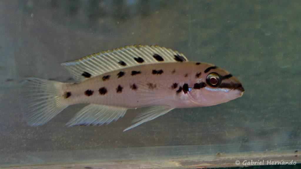 "Chalinochromis sp. ""ndobhoi"" (Vichy, congrès AFC 2005)"