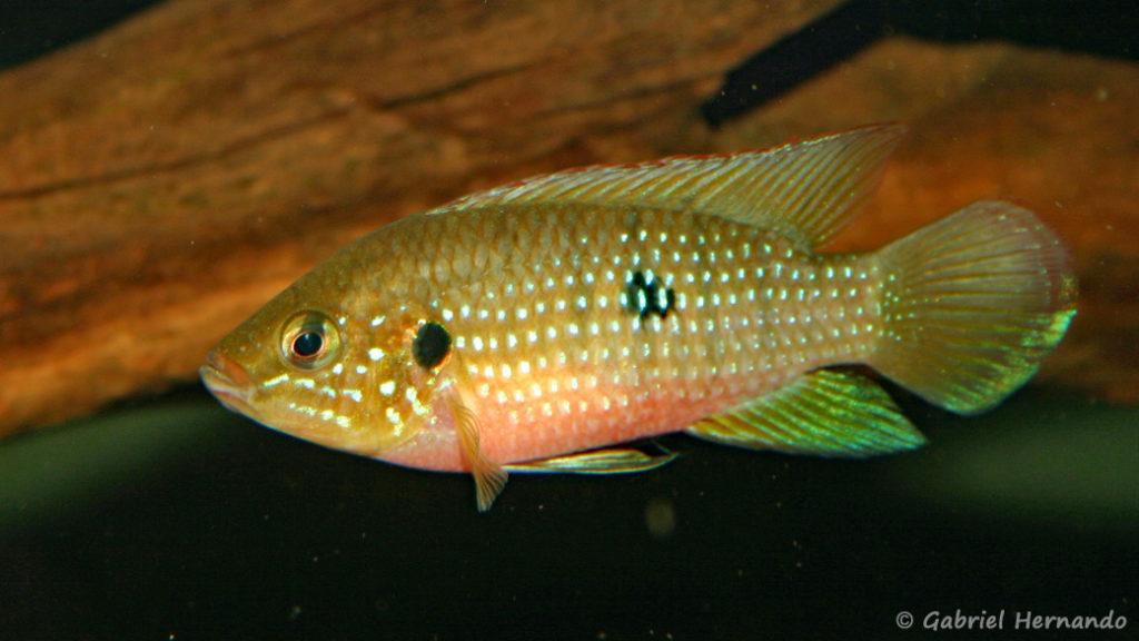 Hemichromis stellifer (Club aquariophile de Vernon, janvier 2006)