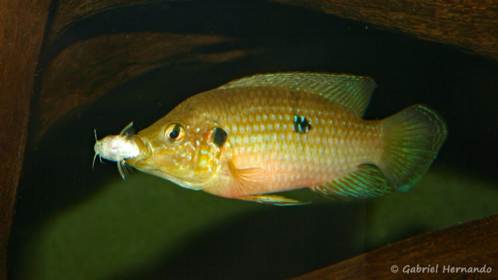 Hemichromis stellifer venant d'attraper un Microsynodontis (Club aquariophile de Vernon, septembre 2006)