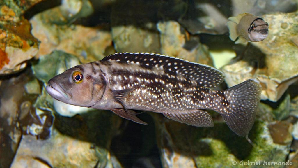 Lepidiolamprologus elongatus (chez Gilles Garrier, décembre 2006)