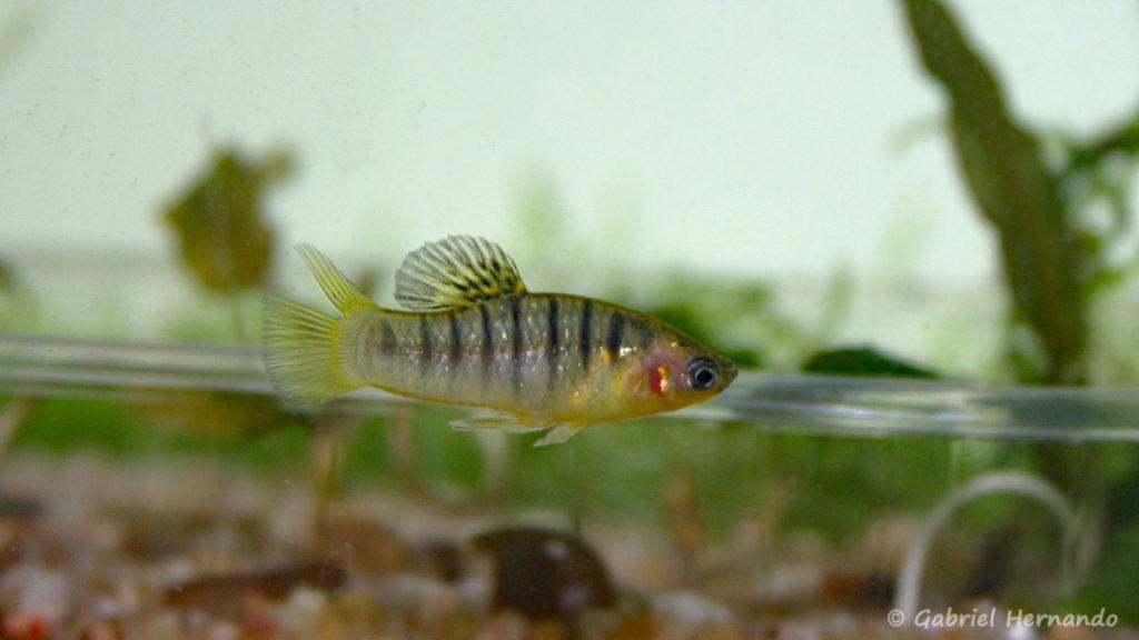 Limia nigrofasciata, mâle (Club aquariophile de Vernon, juillet 2007)