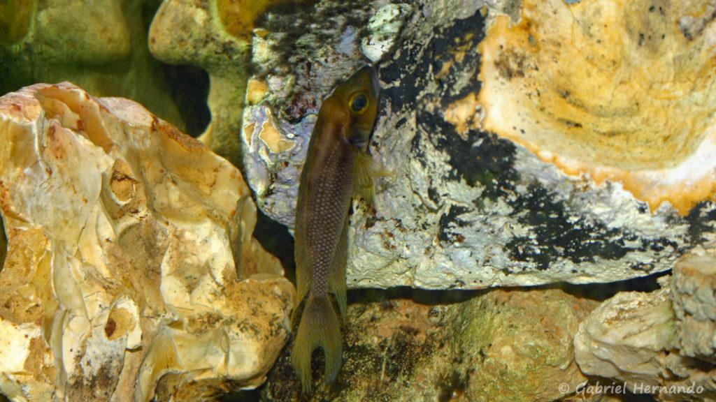 Neolamprologus furcifer (chez Benoît Jonas, juillet 2007)