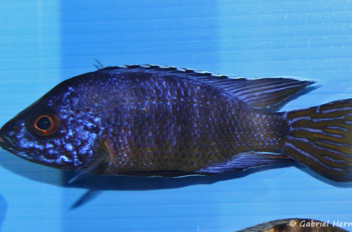 Aulonocara koningsi (Abysse, février 2005)