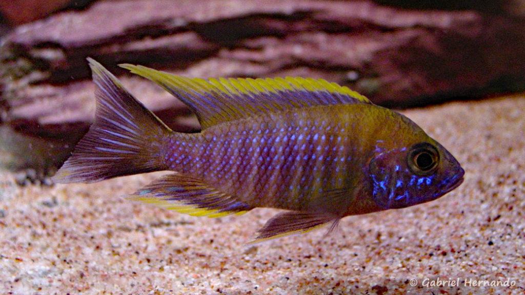 "Aulonocara sp. ""lwanda"", mâle"