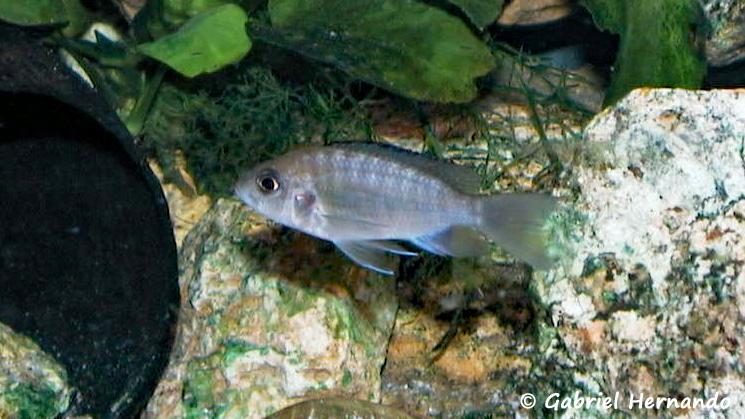 "Aulonocara sp. ""lwanda"", femelle"