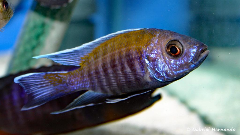 """Aulonocara sp. """"walteri"""", variété de Likoma Island (Abysse, février 2005)"""