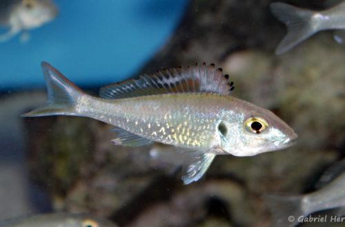 Callochromis stappersi (Aqua Treff, Duisbourg, mai 2014)