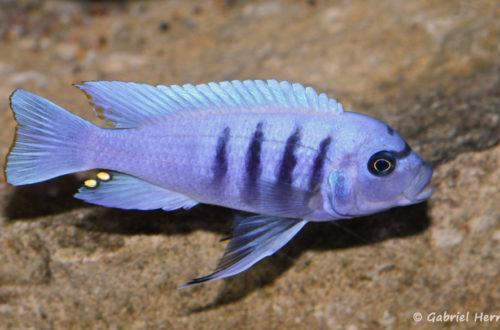 """Cynotilapia sp """"hara"""" Gallireya Reef (Club aquariophile de Vernon, janvier 2008)"""
