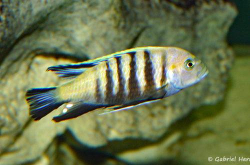 """Cynotilapia sp. 'lion"""", de Lion's Cove"""