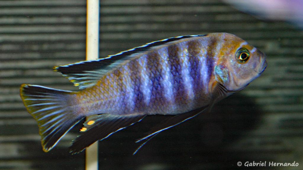 """Cynotilapia sp. 'lion"""", de Lupingu (Abysse, janvier 2009)"""