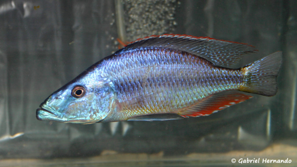 Dimidiochromis compressiceps (Vichy, congrès AFC 2005)