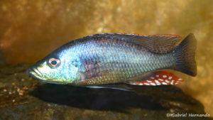 Dimidiochromis strigatus, mâle (Association Aquariophile de Rouen, avril 2006)