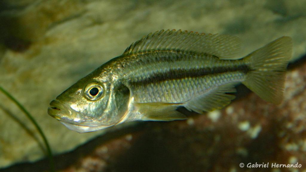 Dimidiochromis strigatus, femelle en incubation Association Aquariophile de Rouen, avril 2005)