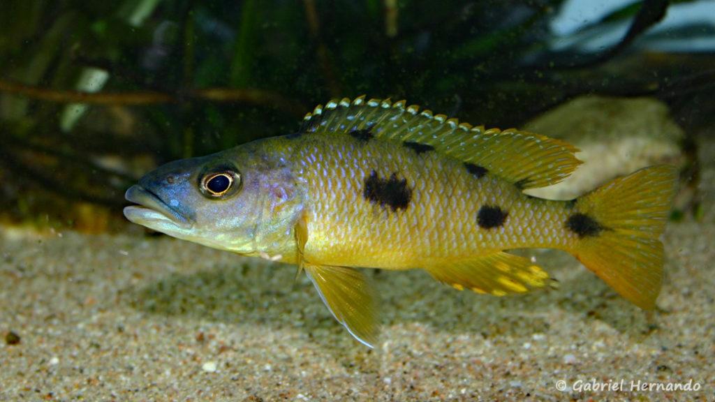 Exochochromis anagenys (Club Aquamassena, novembre 2007)