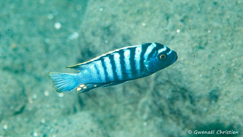 Cynotilapia afra, in situ à Chewere