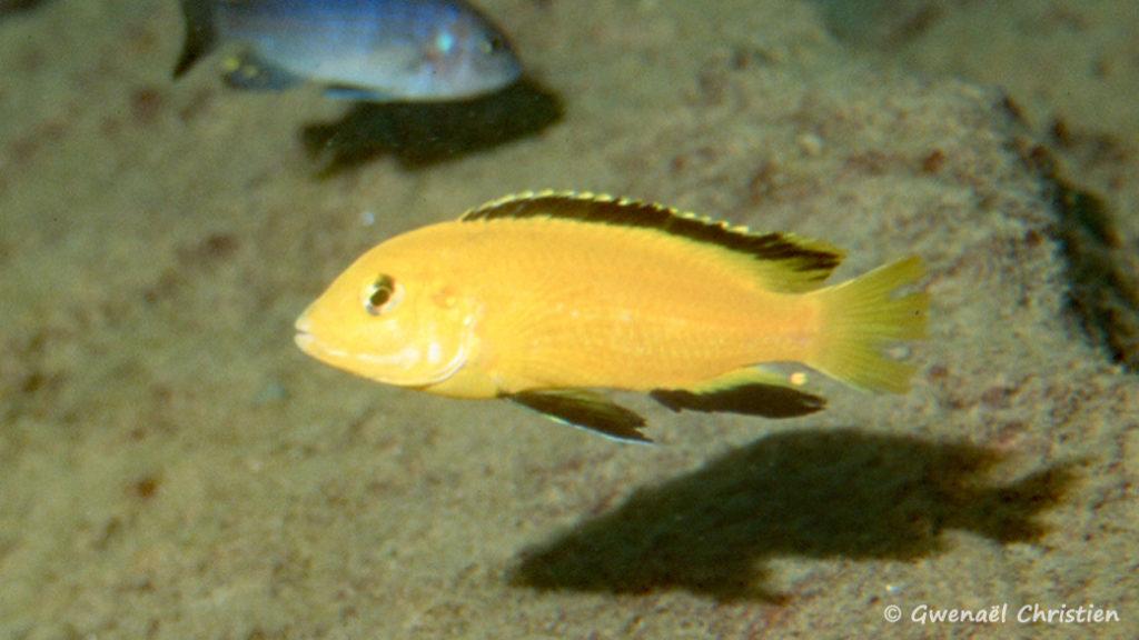 Labidochromis caeruleus, in situ à Mbowe