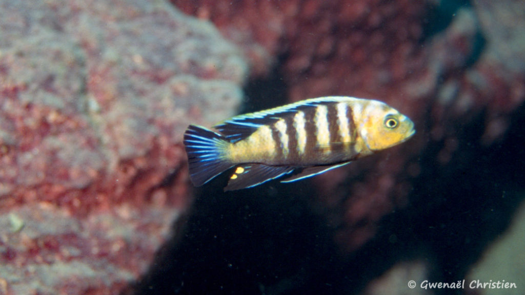 "Cynotilapia sp. 'lion"", in situ, à Lion's Cove"