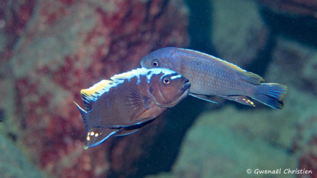 """Cynotilapia sp. """"mamba"""", in situ à Lion's Cove"""