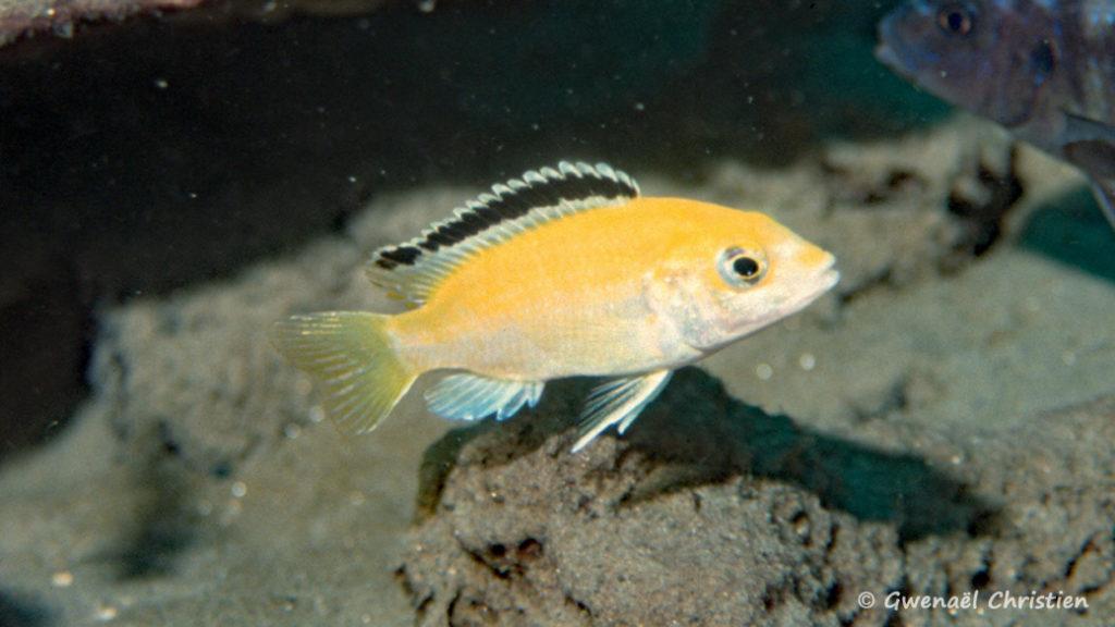 Labidochromis caeruleus, in situ à Lion's Cove