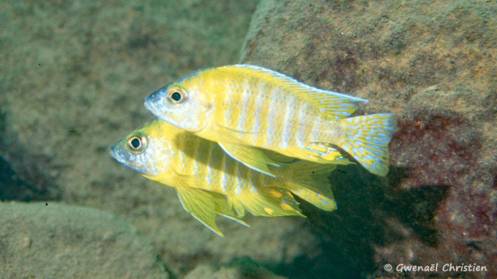 """Aulonocara sp. """"stuartgranti maleri"""", mâles in situ à Nakantenga Island"""