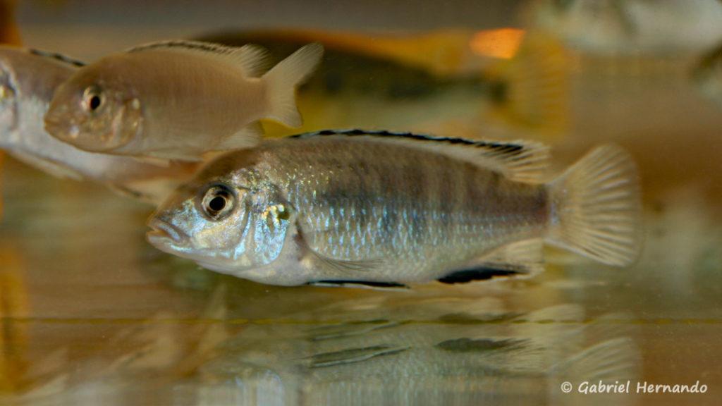 Labidochromis caeruleus, variété de Chadagha (Nancy, congrès AFC 2008)