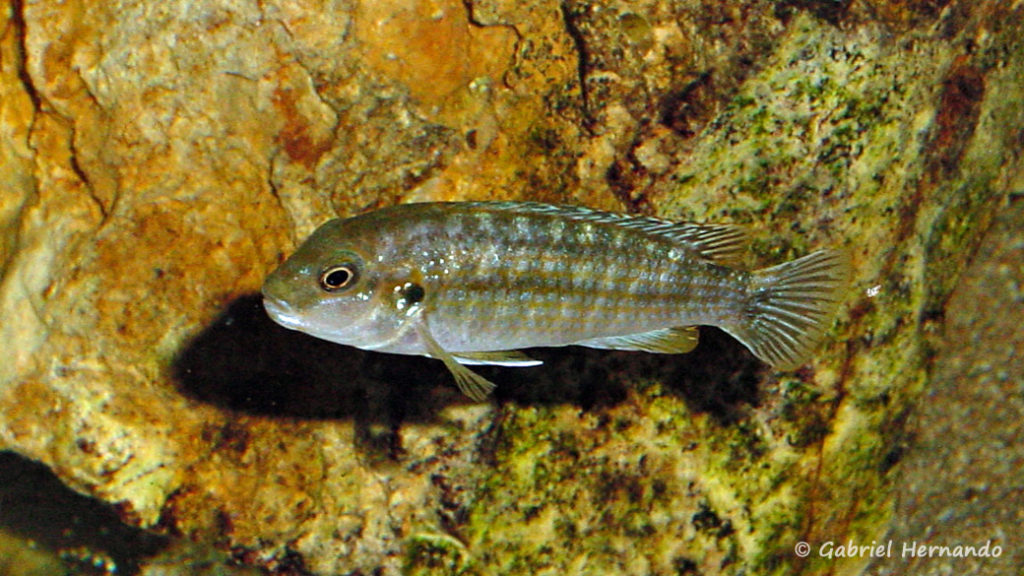 Labidochromis flavigulis, femelle (Club aquariophile de Vernon, novembre 2011)