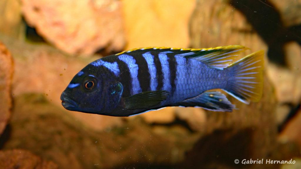 "Labidochromis sp. ""mbamba""  (Chez Pascal Chevalier, août 2006)"