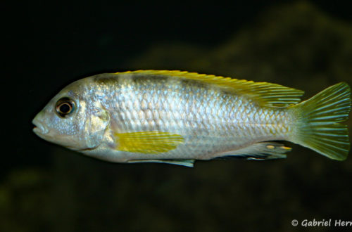 "Labidochromis sp. ""Perlmutt"" mâle (chez moi, août 2004)"